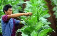 Musim kemarau basah, produksi tembakau diprediksi turun 15%