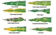 Cara Mudah Mengukur Kekurangan Unsur Hara (Plant Deficiency Guide) dari Daun Tanaman