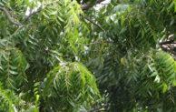 7 Tanaman Pestisida Nabati, Yang Terbukti Efektif Mengendalikan Hama Kutu-kutuan serta Cara Pembuatannya