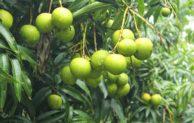 Ingin Tanaman Berbuah Di Luar Musim? Simak  Tips Berikut Ini (Nomor 4 Wajib…!)