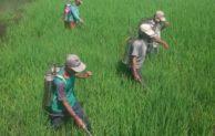 6 Cara Aplikasi Pestisida yang Biasa Dilakukan di Lapangan