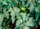 66 Daftar Merk Insektisida Berbahan Aktif Abamektin