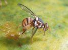 Lalat Buah dan Beberapa Cara Pengendaliannya