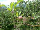 Mengintip Keindahan Kebun Apel Malang [Edisi liburan]