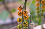 Mengenal 3 Jenis/Tipe Tomat yang Sering Dibudidayakan Petani